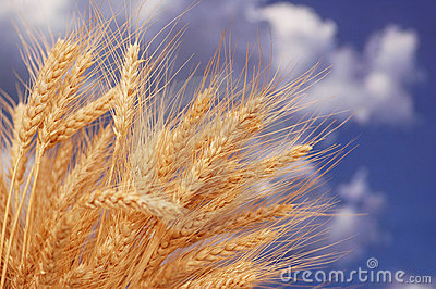 Wheat ears against sky