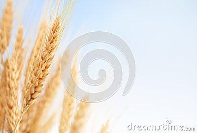 Wheat ears in the farm