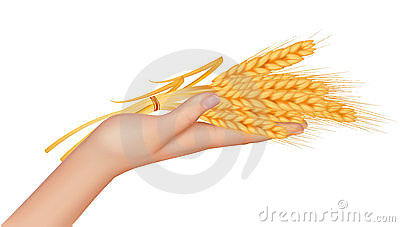 Wheat ears in the hand.Harvest concept.