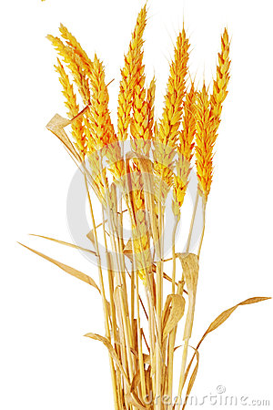 Wheat ears ilie.  Isolated on white background