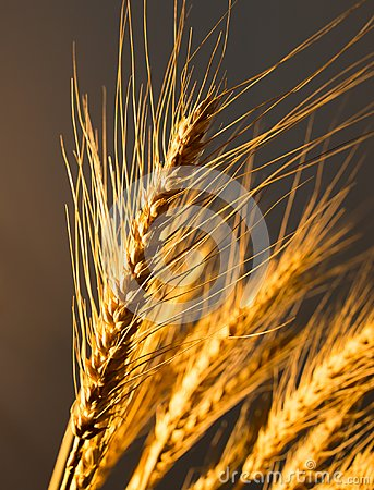 Free Wheat Ears In Golden Light Royalty Free Stock Images - 105044839