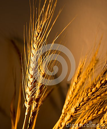Free Wheat Ears In Golden Light Stock Images - 105844884