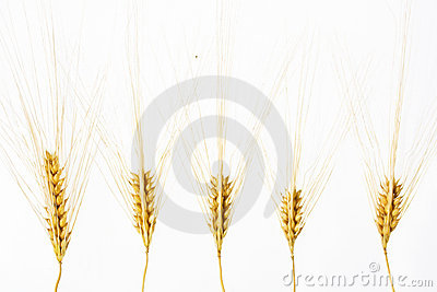Wheat ears isolated over white