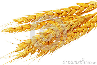 Wheat ears lie.  Isolated on white background