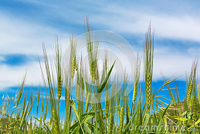 Wheat ears natural spring field background blue Stock Photo