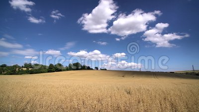 Wheat farm in the educational Butser Ancient Farm. At Waterlooville, United Kingdom stock video footage