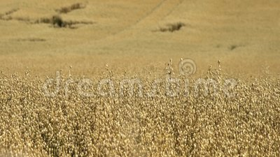 Wheat farm in the educational Butser Ancient Farm. At Waterlooville, United Kingdom stock footage