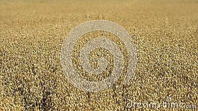 Wheat farm in the educational Butser Ancient Farm. At Waterlooville, United Kingdom stock video