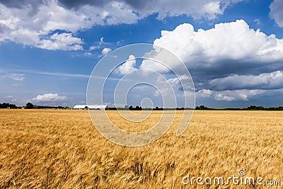 Wheat farm field