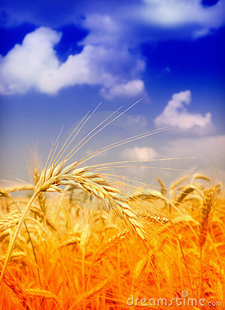 Free Wheat Field Royalty Free Stock Photos - 14873668