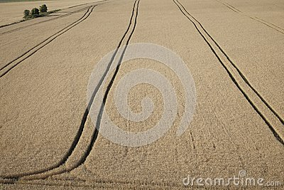 Aerial view:wheat field, blue sky, clouds. Top view of wheat field ...