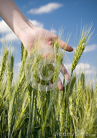 Free Wheat Field Royalty Free Stock Photo - 25337955