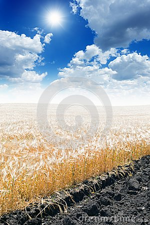 Wheat Field Royalty Free Stock Photography - Image: 25624507