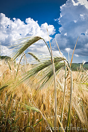 Free Wheat Field Stock Image - 4152151