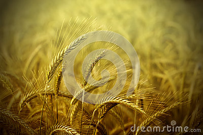 Wheat field abstract background