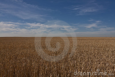 Wheat field in Alberta - Canada