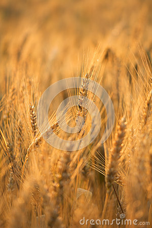 Wheat field bathing during sunrise