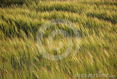 Wheat field blown by wind at sunset