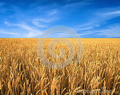 Wheat field and blue sky as background