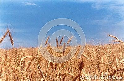 Wheat field classic