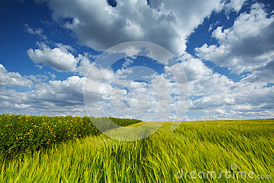 Wheat field with cumulus clouds