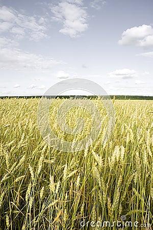 Wheat field golden