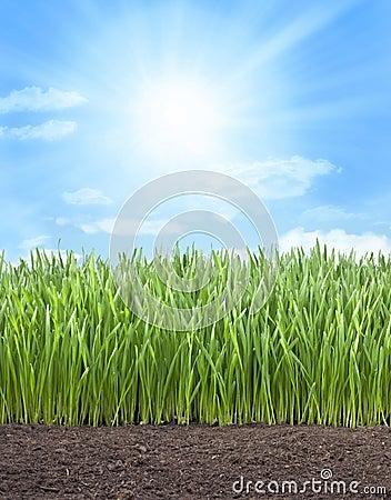 Wheat Field Grass Sun Sky