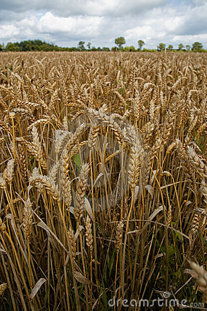 Wheat field on a gray day