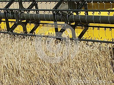 Wheat field harvesting