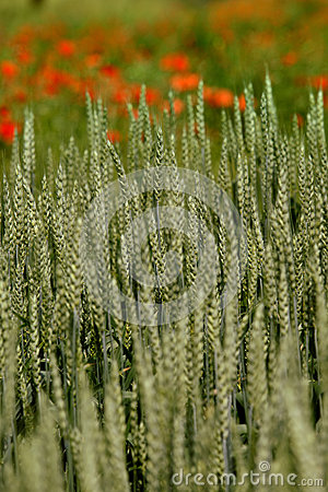 Free Wheat Field In Early Summer Stock Photos - 37626573