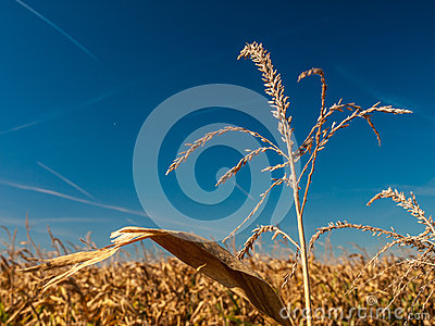Wheat on field