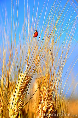 Wheat field and ladybug in Italy