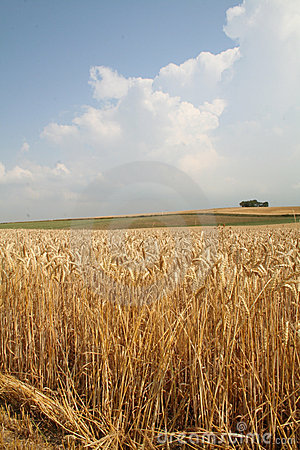 Free Wheat Field Landscape Stock Photo - 1031310