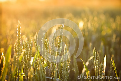 Wheat field in late afternoon