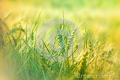 Wheat field in morning