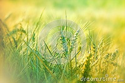 Wheat field in morning