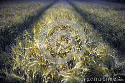 Wheat field at night