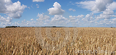 Wheat field panorama
