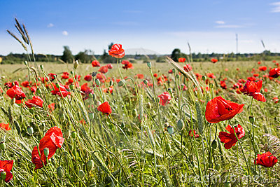 Wheat field and poppies in summer