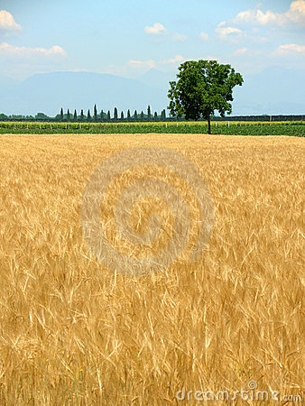 Wheat field in spring and lone