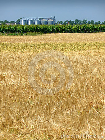 Wheat field in spring and silo