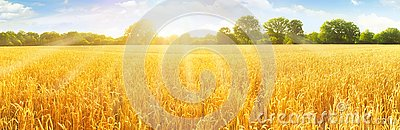 Wheat Field in Summertime Stock Photo