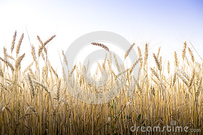 Wheat field on a Sunny day. Stock Photo