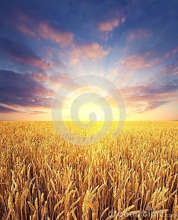 Wheat field and sunrise sky as background
