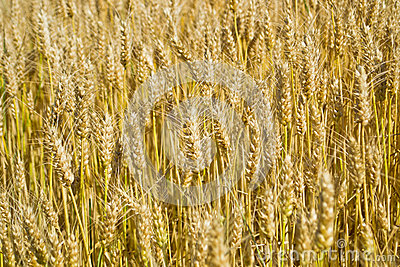 Wheat field in Tuscany