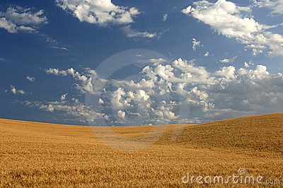 Wheat field under cloudy skies