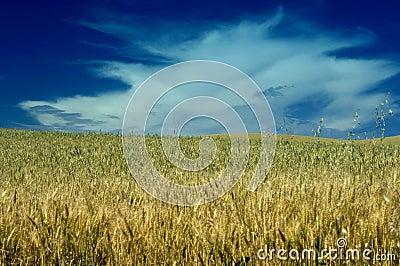 Wheat field under cloudy skies