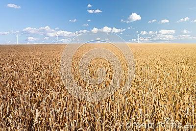 Wheat field and wind generator