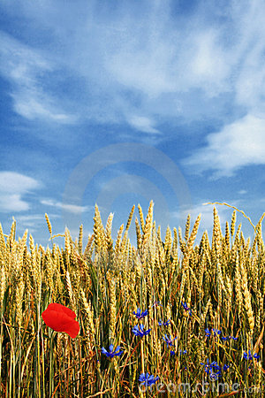 Free Wheat Field With Flowers Royalty Free Stock Photo - 2652815