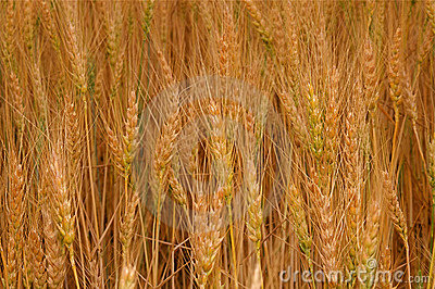Wheat Fields Stock Image - Image: 6188291